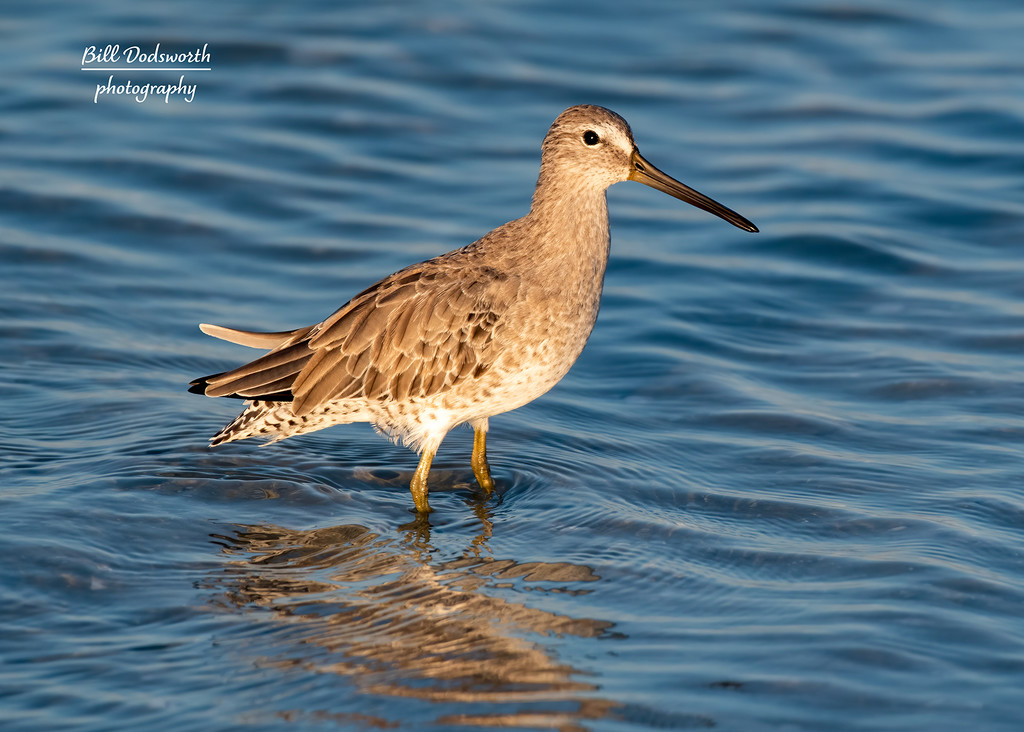 Willet posing for a pic by photographycrazy