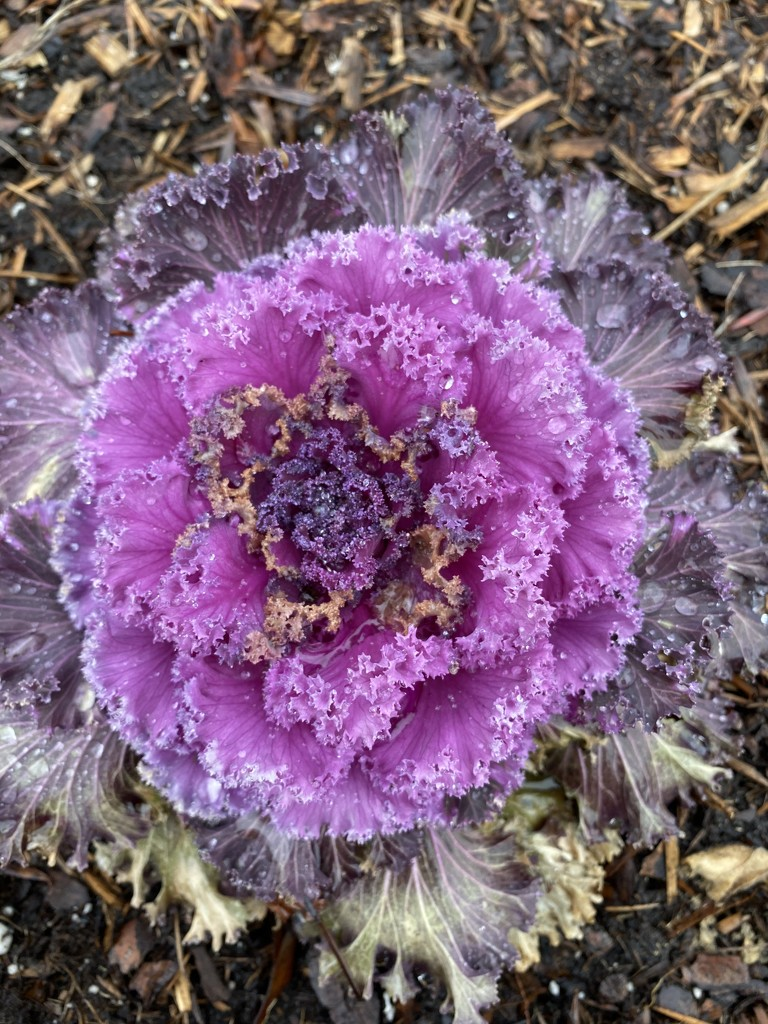 Ornamental Cabbage by radiogirl