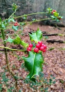 25th Nov 2020 - Epping Forest holly
