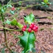 Epping Forest holly