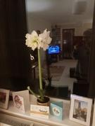 25th Nov 2020 - White Amaryllis