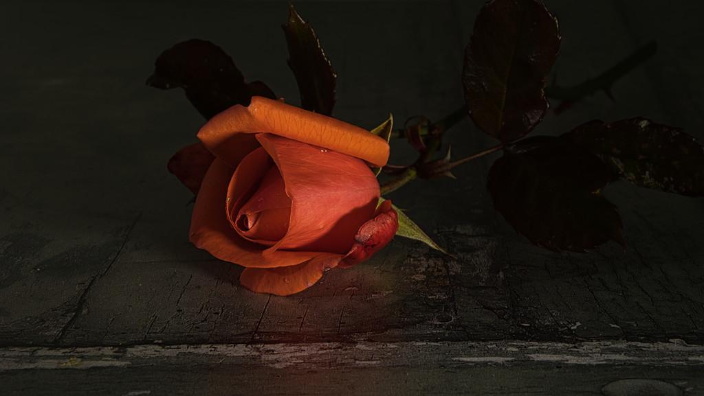 Single red rose. by 365projectmalh3