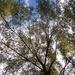 Water oak canopy...