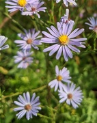 5th Sep 2020 - Asters