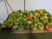 1st Oct 2020 - Final Tomato Harvest