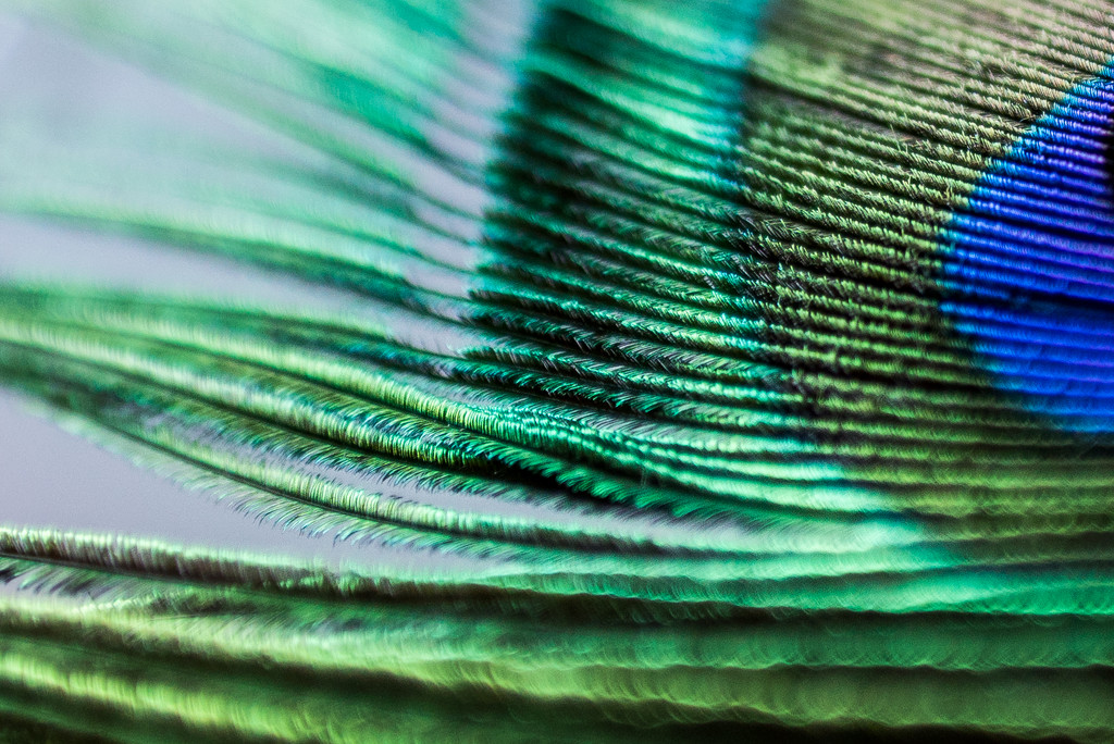 Peacock Feather Up Close by kwind