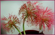 26th Nov 2020 - Fire Balls in different stages of dying-from my garden