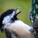 Chickadee Shows His Tongue!