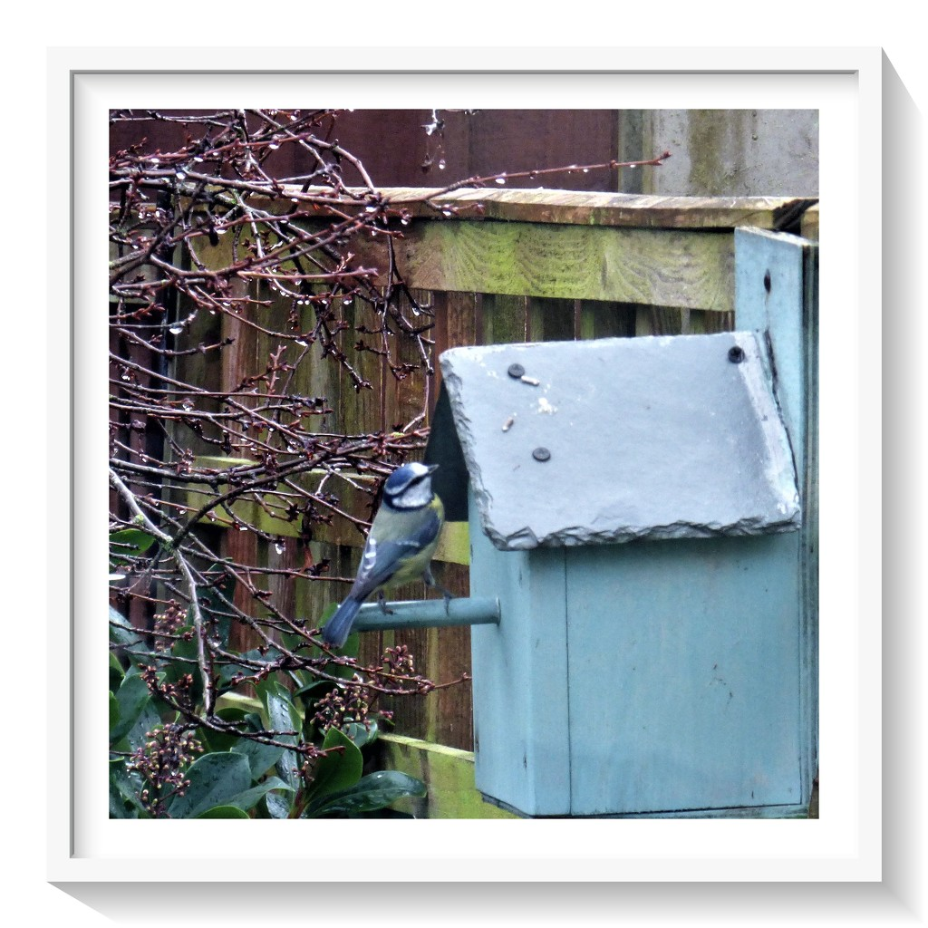 Bluetit - Is there anyone at home !! by beryl