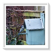 26th Nov 2020 - Bluetit - Is there anyone at home !!