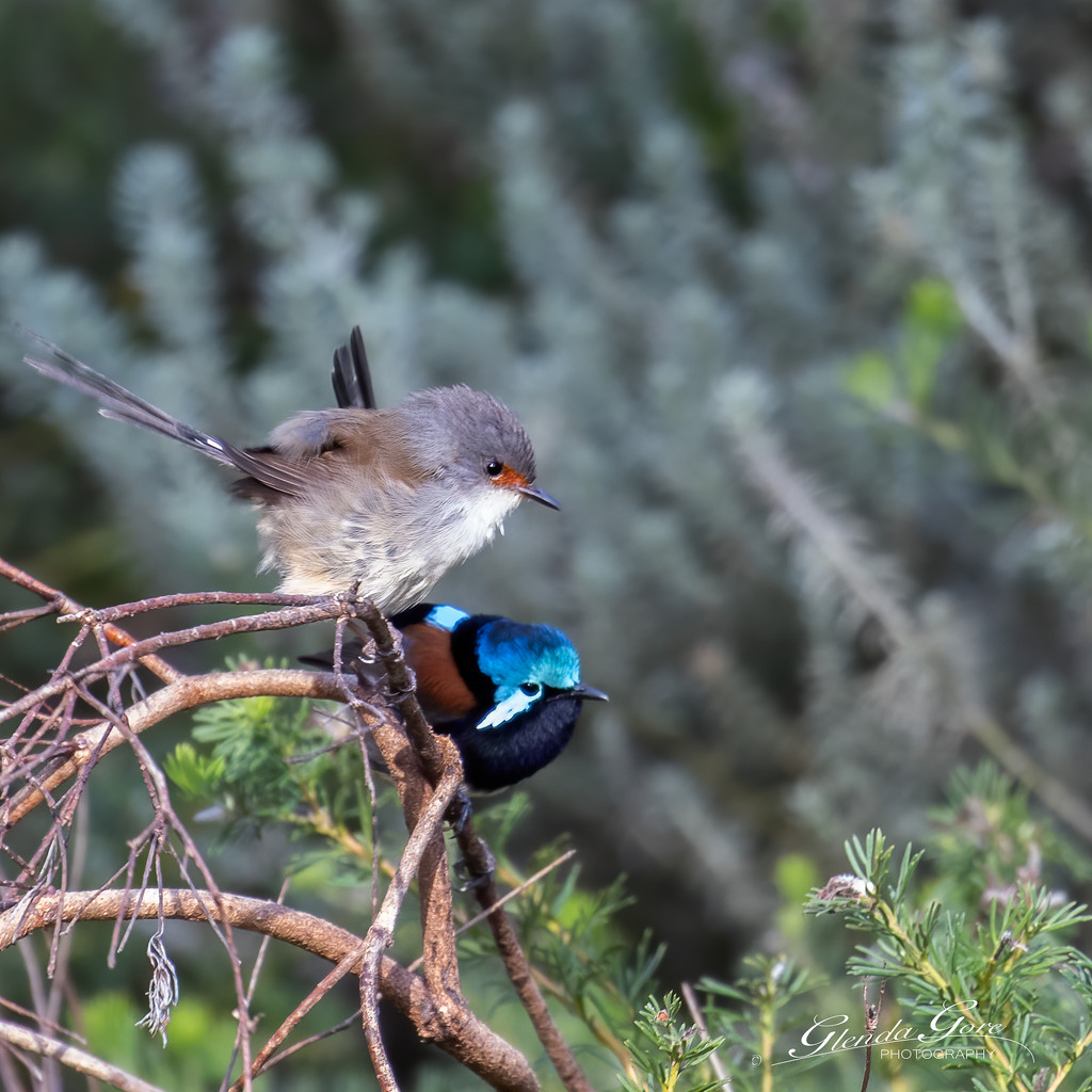RED WINGED FAIRY WREN by glendamg