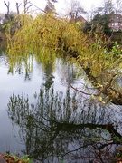 26th Nov 2020 - Weeping Willow