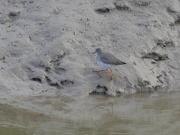 26th Nov 2020 - Redshank at low tide