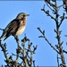 The first fieldfare