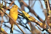 26th Nov 2020 - Yellowhammer