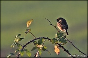 26th Nov 2020 - Stonechat