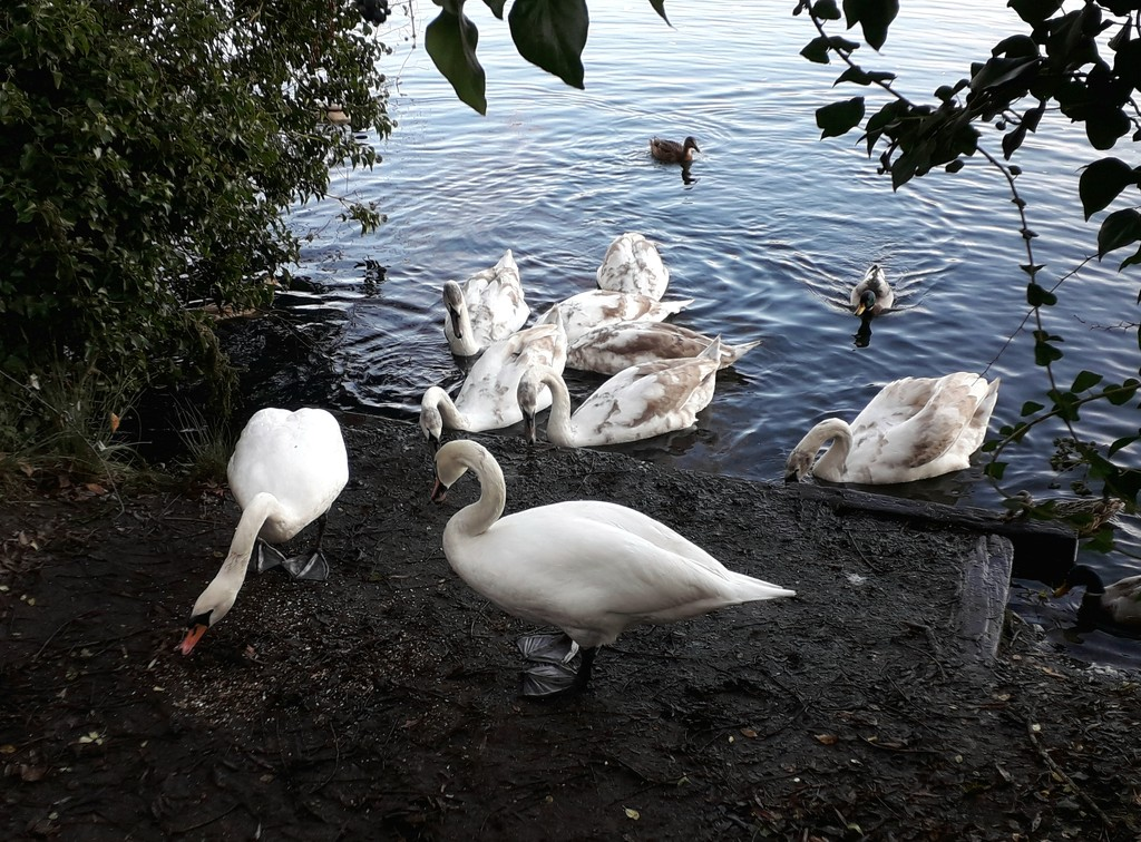 Swan family by mave