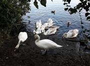 26th Nov 2020 - Swan family