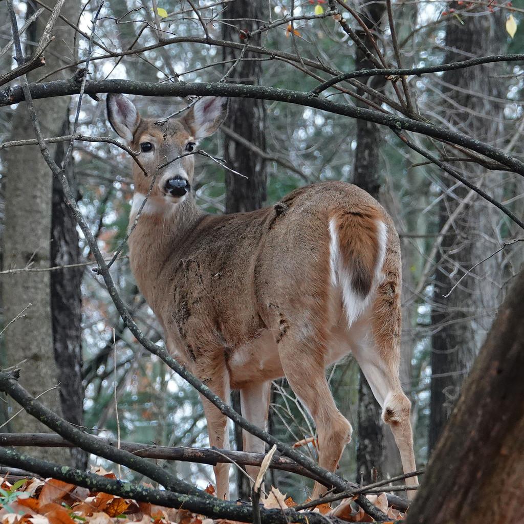 White-tailed Deer by annepann