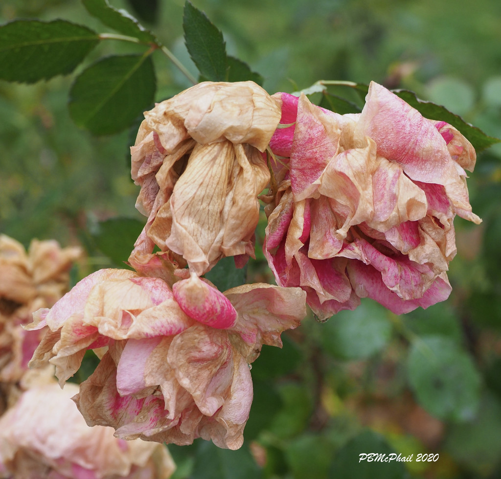 Withered Roses by selkie