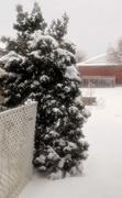 23rd Nov 2020 - Snowy Tree