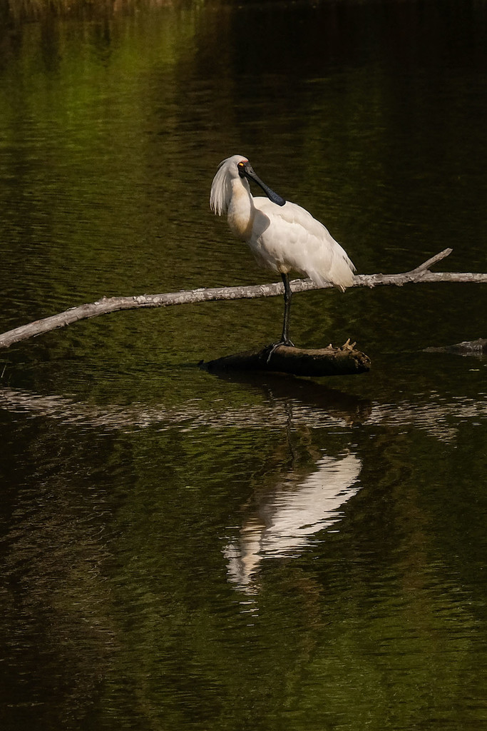 Royal spoonbill resting by maureenpp