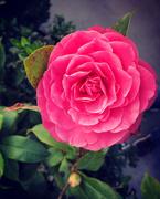 26th Nov 2020 - Camellia