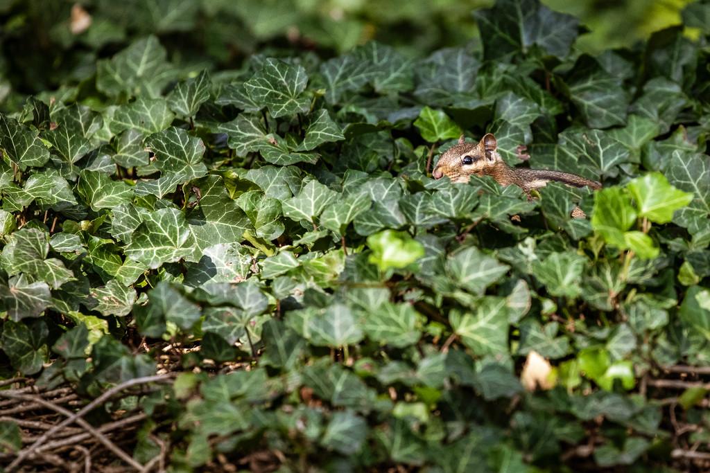 Stealth Chipmunk by jyokota