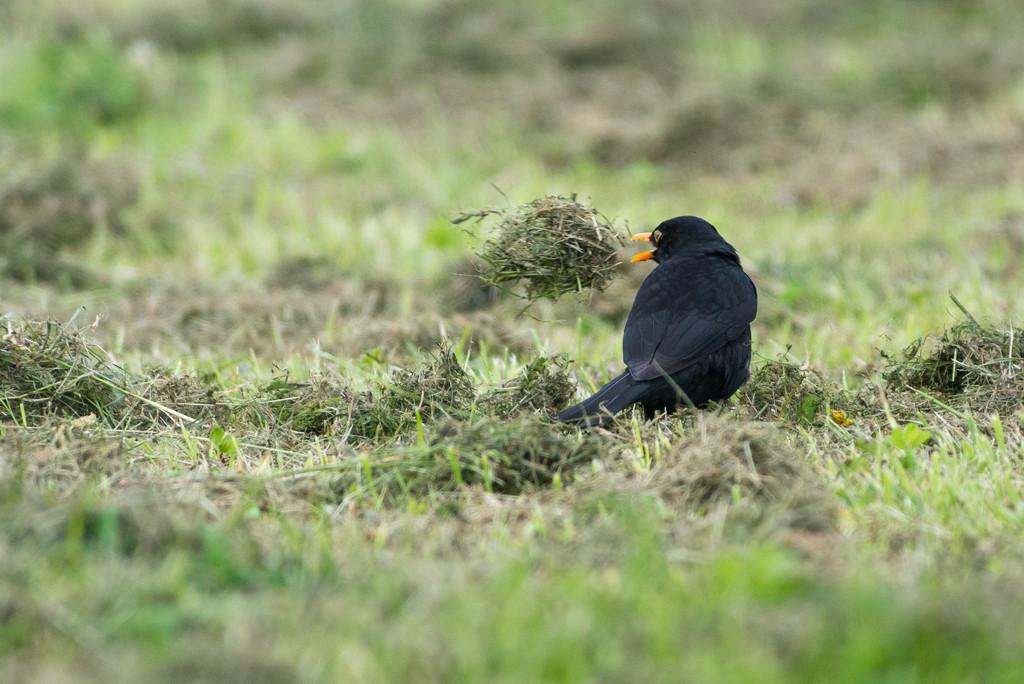 Fun looking at the bird throwing grass clippings by yaorenliu