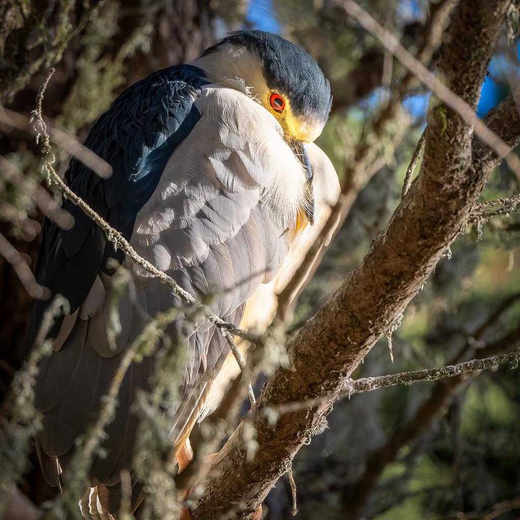 Black-crowned Night-Heron by nicoleweg
