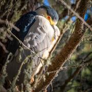 26th Nov 2020 - Black-crowned Night-Heron