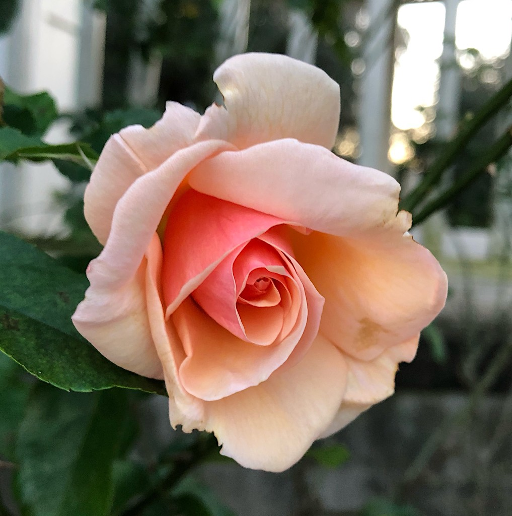 Perfect rose by congaree