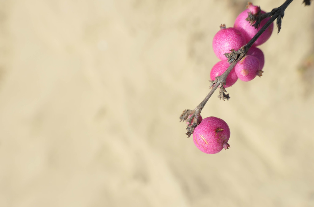 Pink berries by stiggle
