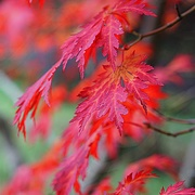 27th Nov 2020 - red leaves