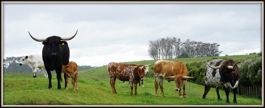 The longhorns by dide