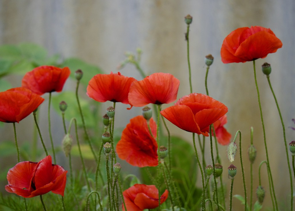 Some Of My Poppies Are Still Flowering PB271032 by merrelyn