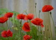 27th Nov 2020 - Some Of My Poppies Are Still Flowering PB271032
