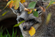 25th Nov 2020 - Bat-eared Fox