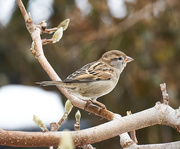 27th Nov 2020 - Female House Sparrow