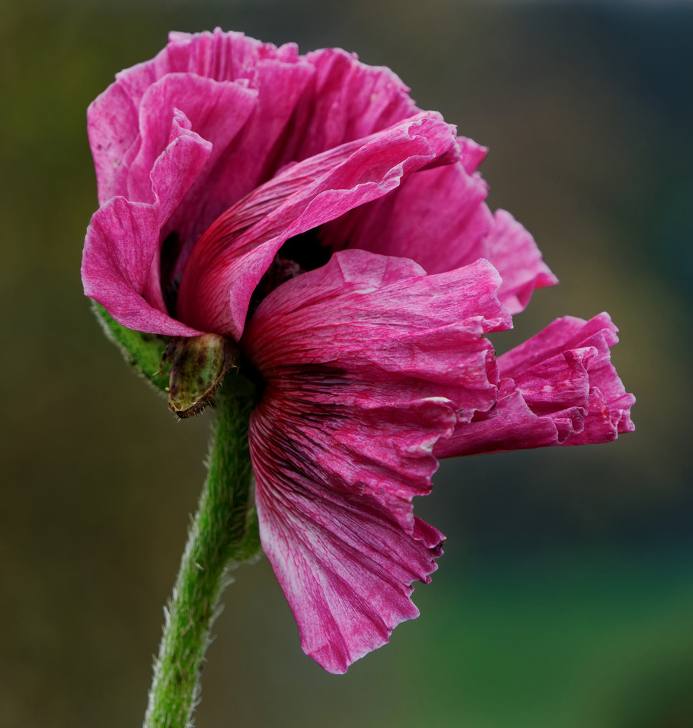 1127 - Poppy by bob65