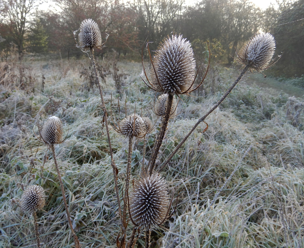 Frosty teasels by busylady