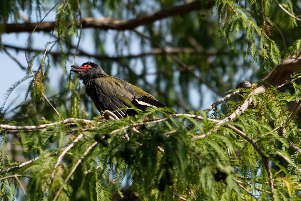 Figbird by sugarmuser