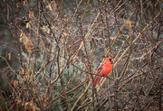 26th Nov 2020 - Cardinal in Rainy Day Bush