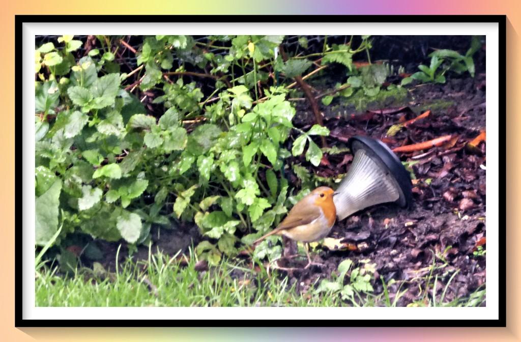 Little red Robin comes bob bob bobbing along  by beryl
