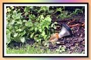 29th Nov 2020 - Little red Robin comes bob bob bobbing along