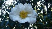 28th Nov 2020 - Painted white camellia...