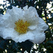 Painted white camellia...