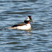 Bufflehead by nicoleweg
