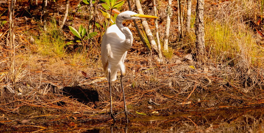 Egret, Just Standing By! by rickster549