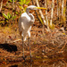 Egret, Just Standing By!